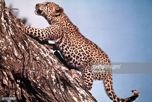 African Leopard of the Serengeti Plain though not immediately threatened with extinction has been placed on the endangered animals list with other...