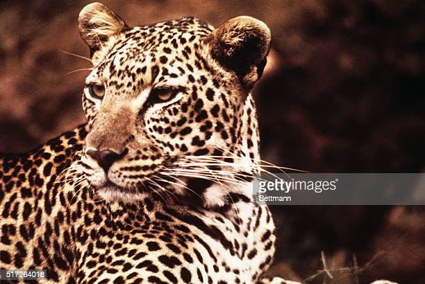 African Leopard of the Serengeti Plain though not immediately threatened with extinction has been place on the endangered animals list with other...
