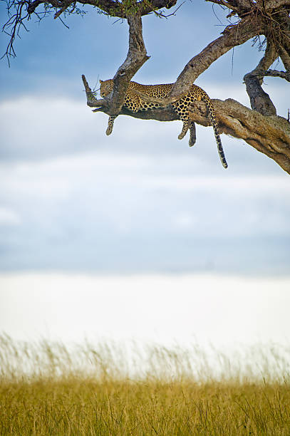 African leopard resting in acacia