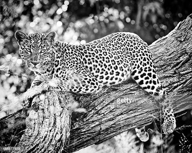 African leopard resting in the tree, Botswana
