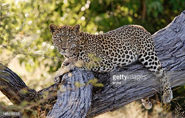 African leopard resting in the tree, Chitabe Concession,Botswana