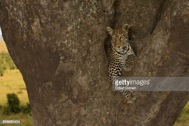 African Leopard resting on a tree