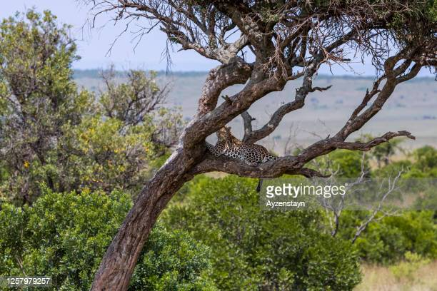 african leopard resting on tree - looking at camera - leopard stock pictures, royalty-free photos & images