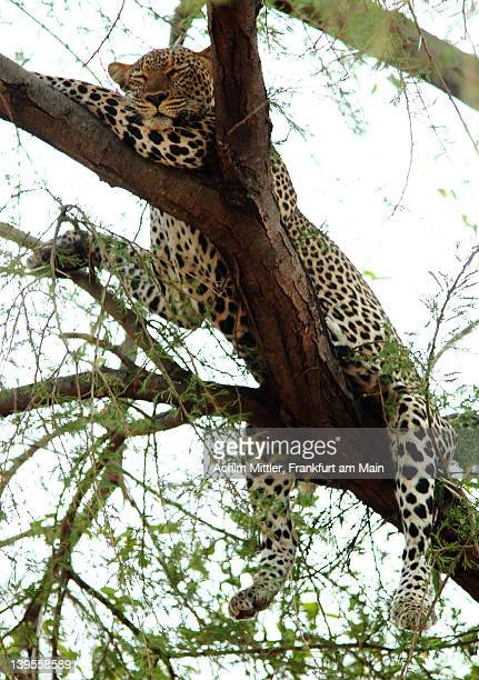 African leopard resting on tree