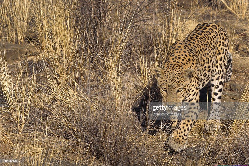 African leopard stalking through grass , Namibia , Africa : Stockfoto