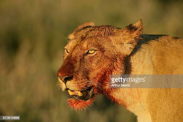 African Lion After Feeding