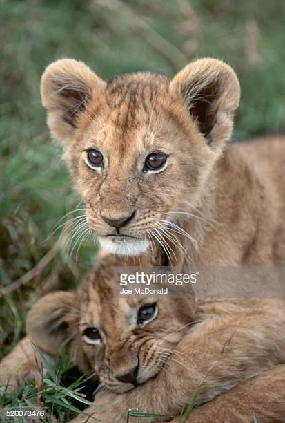 african lion cubs playing - lion cub - fotografias e filmes do acervo