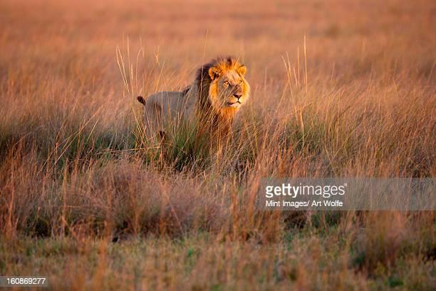 african lion, duba plains, botswana - okavango delta stock photos and pictures