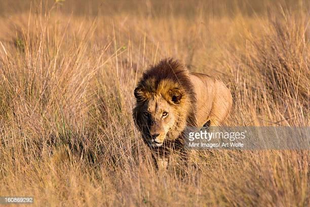 african lion, duba plains, botswana - leones cazando fotografías e imágenes de stock