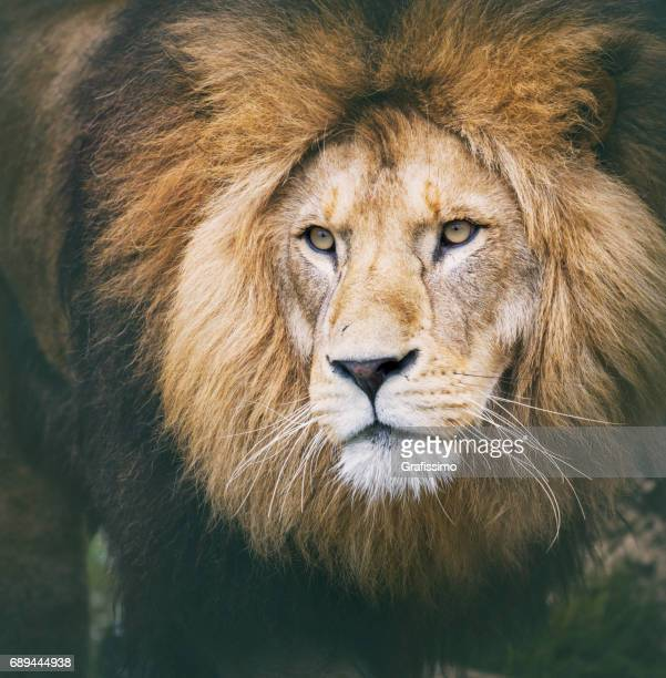 African lion headshot looking to camera