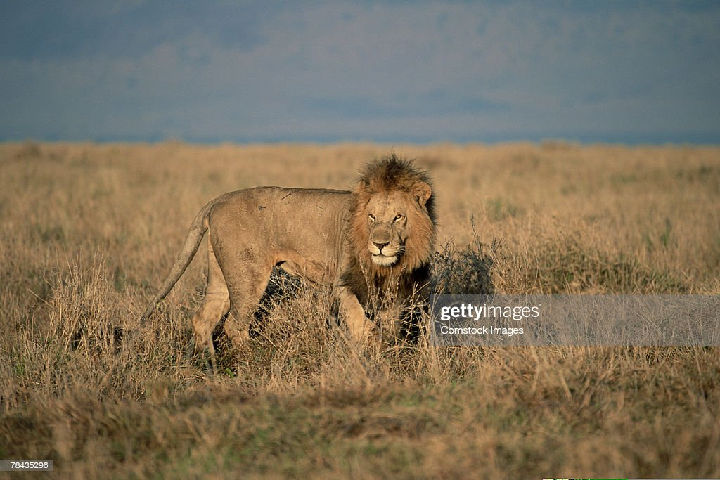 African lion in grasslands , Kenya , Africa : Stockfoto