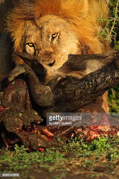 African Lion (Panthera Leo), Ndutu, Ngorongoro Conservation Area