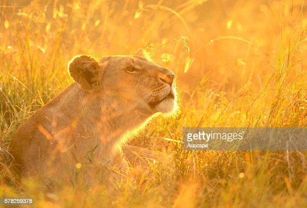African lion Panthera leo female head backlit by dawn sunlight through long grass Masai Mara National Reserve Kenya East Africa
