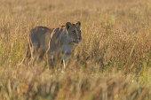 african lion panthera leo female morning