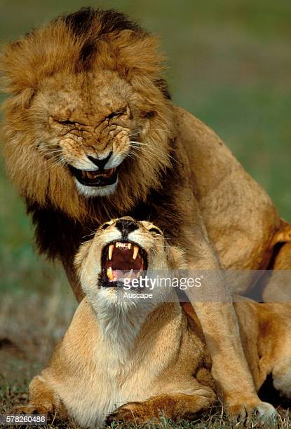 African lion Panthera leo mating Masai Mara National Reserve Kenya East Africa
