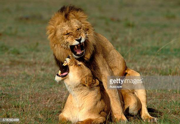 African lion Panthera leo pair mating Masai Mara National Reserve Kenya East Africa