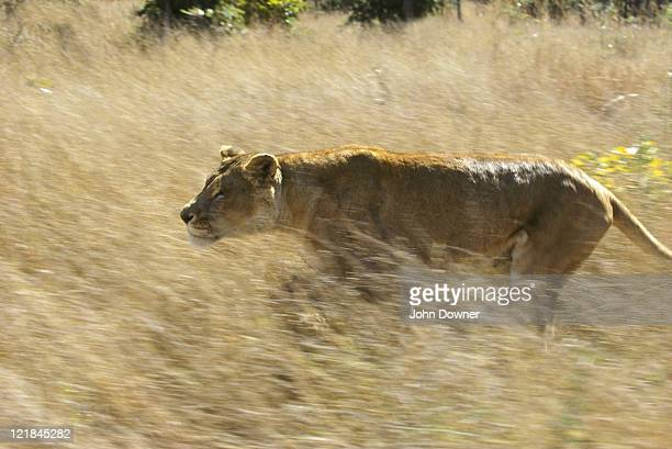 african lion, panthera leo, running, zimbabwe