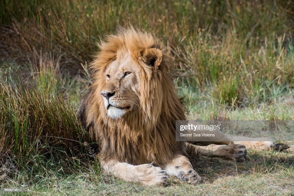 African lion : Stock-Foto