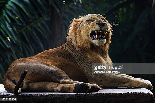african lion sit back and relax - lion attack stock pictures, royalty-free photos & images