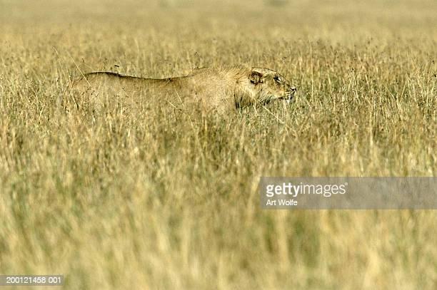 African lion (Panthera leo) stalking through long grass
