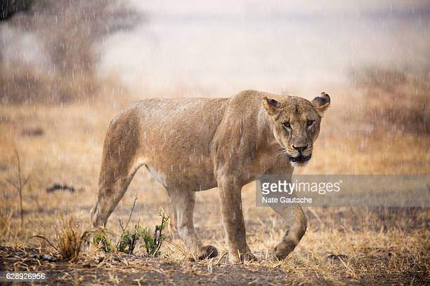african lion walking in the rain in tarangire national park tanzania - tarangire national park stock pictures, royalty-free photos & images