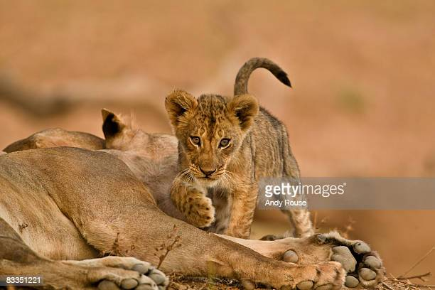 african lion (panthera leo) zambia - lion cub stock photos and pictures