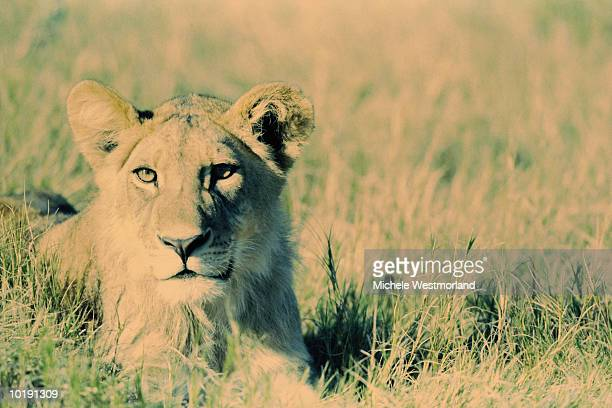african lioness (panthera leo) lying in grass, botswana (cross-process - cross processed stock pictures, royalty-free photos & images