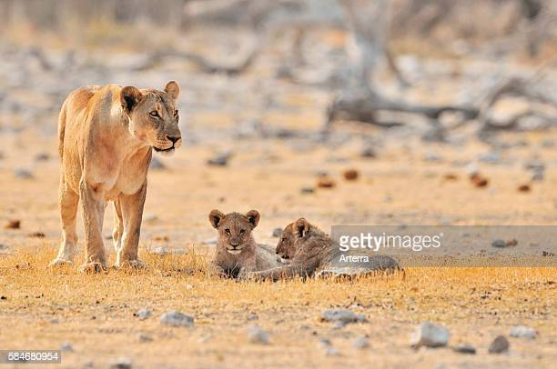 African lioness with cubs Etosha National Park Namibia
