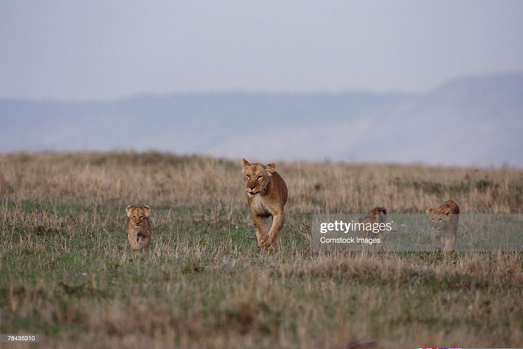 African lioness with cubs , Kenya , Africa : Stockfoto