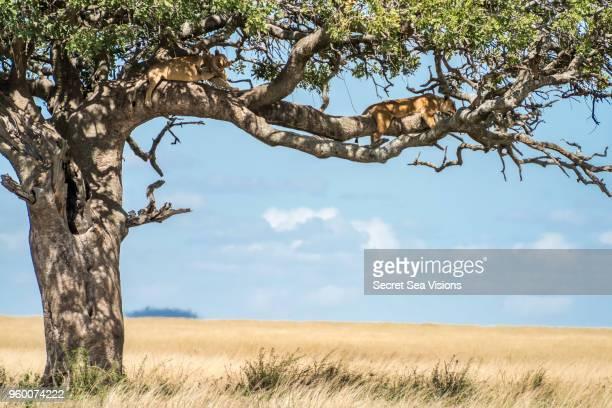 african lionesses - säugetier stock-fotos und bilder