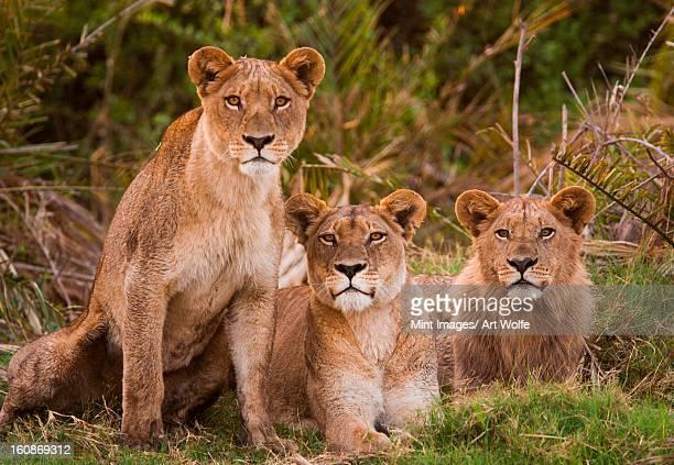 african lions, botswana - leones cazando fotografías e imágenes de stock