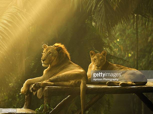 african lions lying down under ray of light - zoo stock pictures, royalty-free photos & images