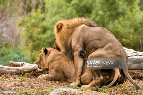 african lions mating - leones cazando fotografías e imágenes de stock