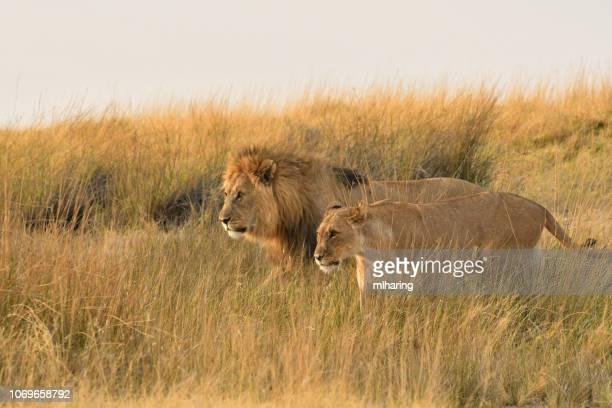 アフリカのライオン