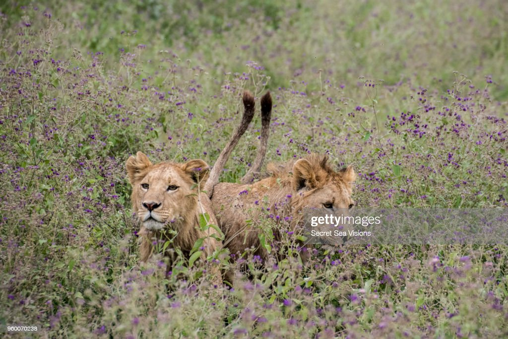 African Lions : Stock-Foto