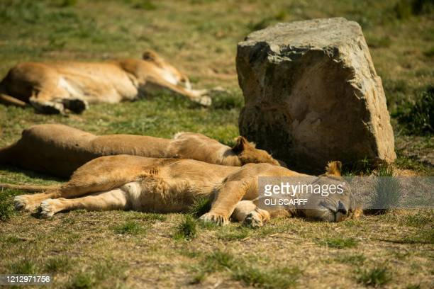 African lions rest in their enclosure at Knowsley Safari near Liverpool northern England on May 14 whilst the safari park is closed to visitors...