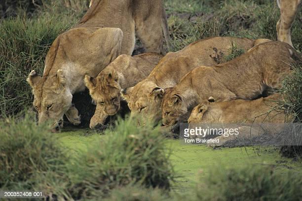 african lions (panthera leo) smelling grass, kenya, africa - cinq animaux photos et images de collection