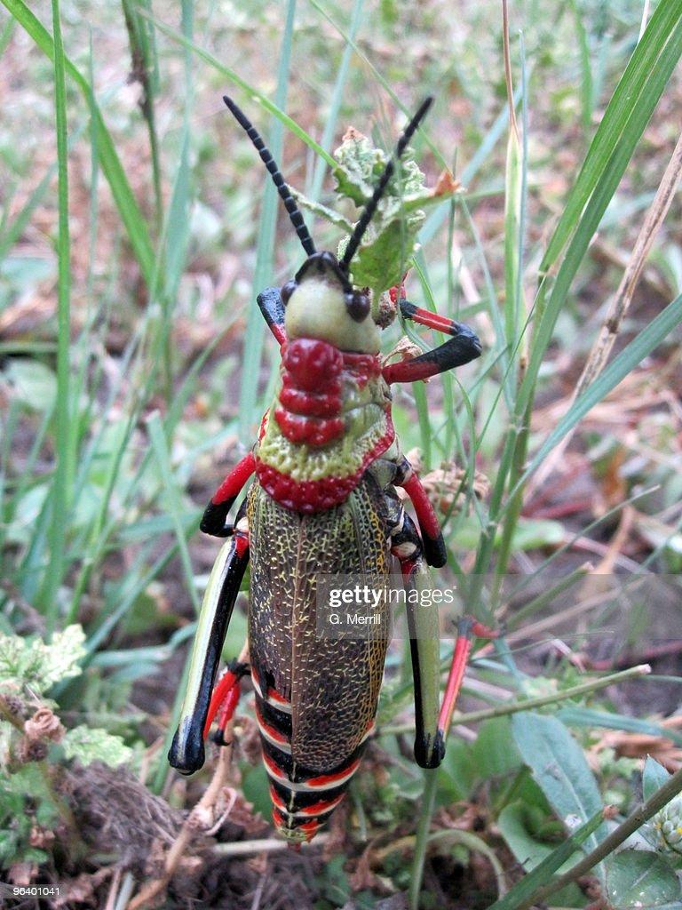 African locust : Stock Photo