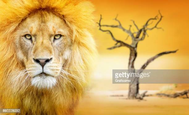 african male lion headshot looking into camera standing in the desert - lion feline stock pictures, royalty-free photos & images