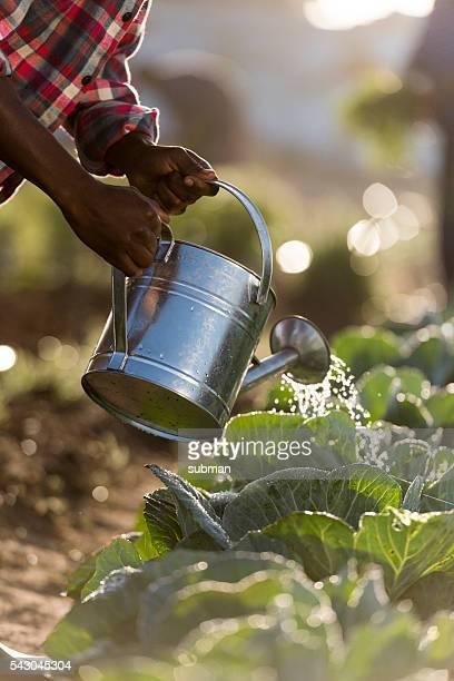 African male watering vegetables