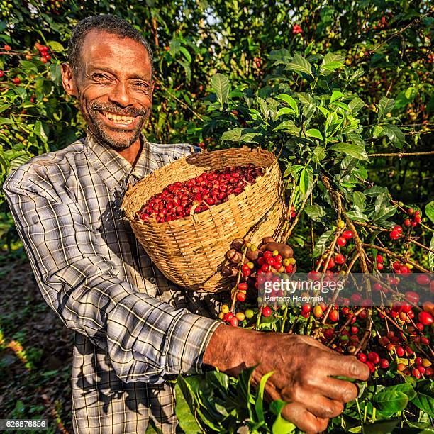 hombre africano de reunir café cherries, áfrica oriental - actividad de agricultura fotografías e imágenes de stock