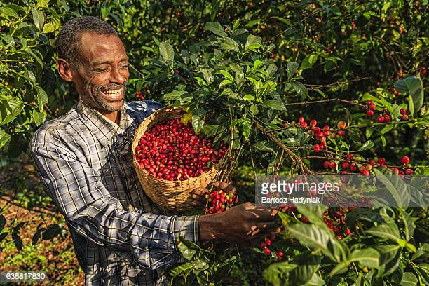 african man collecting coffee cherries, east africa - ethiopia stock photos and pictures