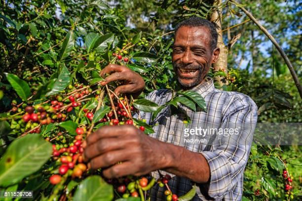 Afrikansk man samla kaffe körsbär, Östafrika
