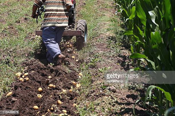 African Man Harvesting Potatoes