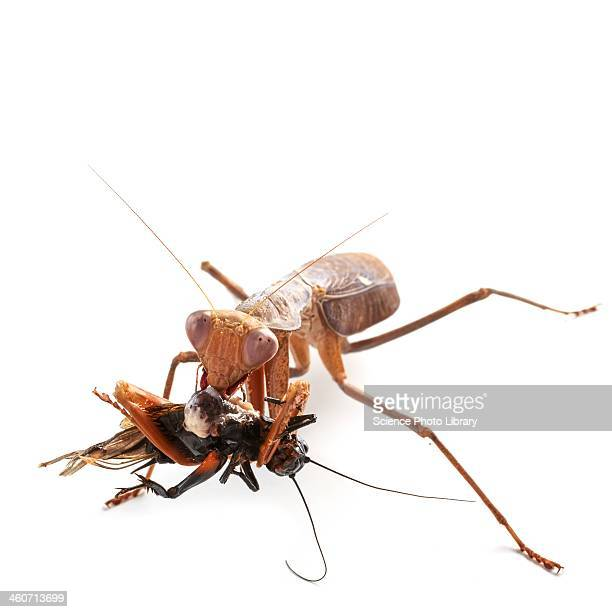African mantis and prey