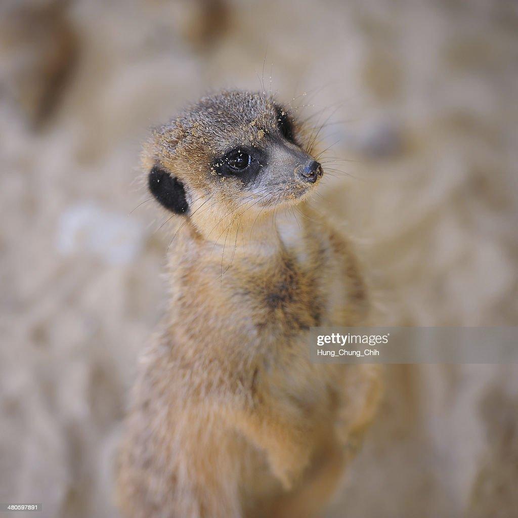 African meerkat (focus on head, blurred body) : Stock Photo