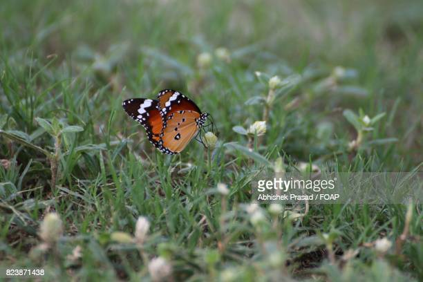 African monarch butterfly on grass
