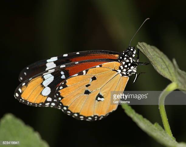 African Monarch butterfly (Danaus chrysippus)