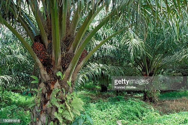 African Oil Palm (Elaeis guineensis) bearing fruit, inflorescence, Borneo, Southeast Asia