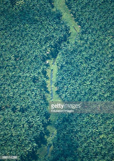 African oil palm plantation Osa Peninsula Costa Rica Elaeis guineensis Reason for massive forest clearance